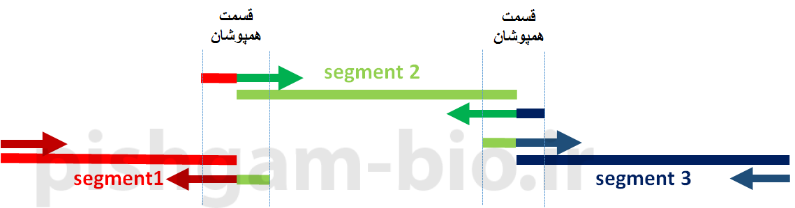 آموزش اتصال چند توالی ها با استفاده از PCR (overlap extension PCR) و اصول طراحی پرایمر ب