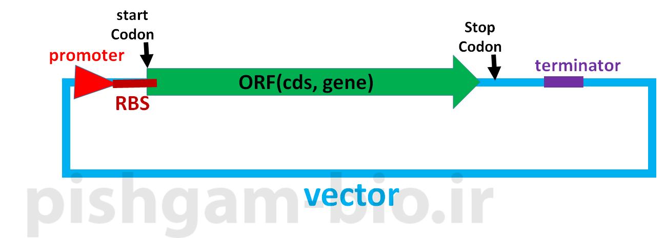 توالی کوزاک (Kozak sequence) چیست و چه کاربردی در کلون نمودن ژن ها و بیان ژن ها در یوکاریوت ها دارد